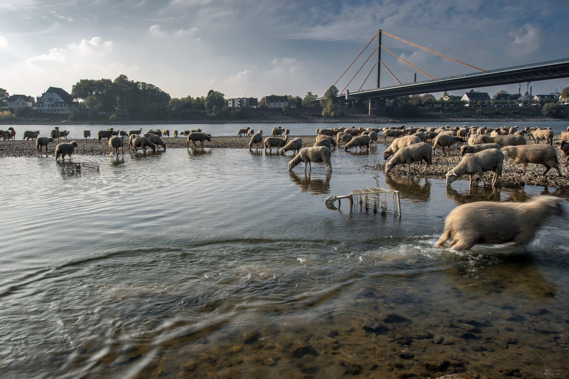 Schafe im Rhein